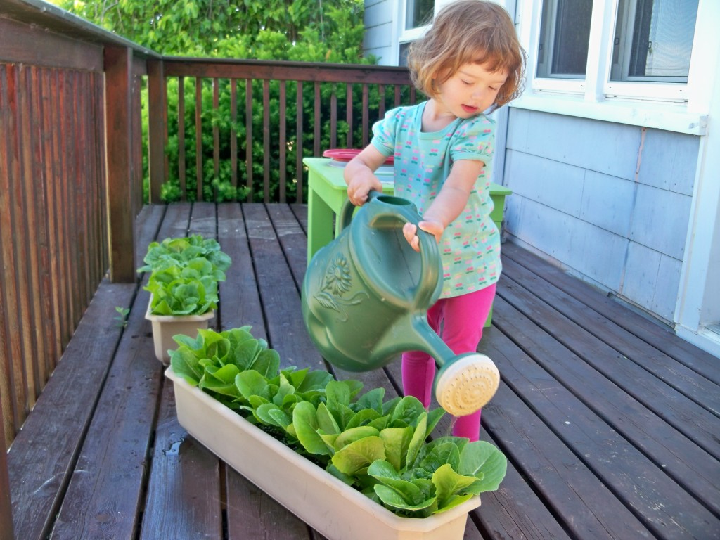 toddler watering lettuce