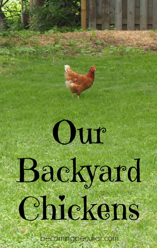 our backyard chickens a tour