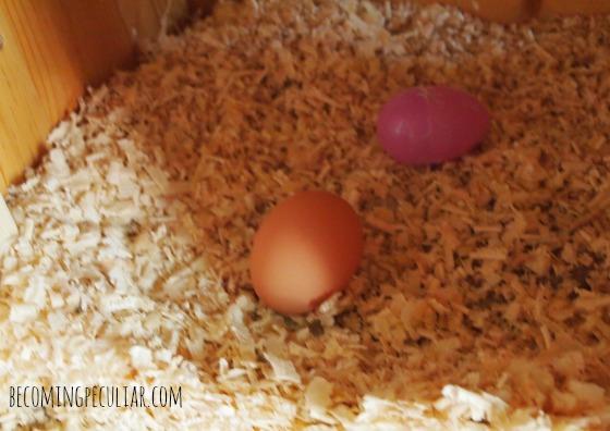 backyard chicken egg