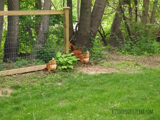 free-range back yard chickens