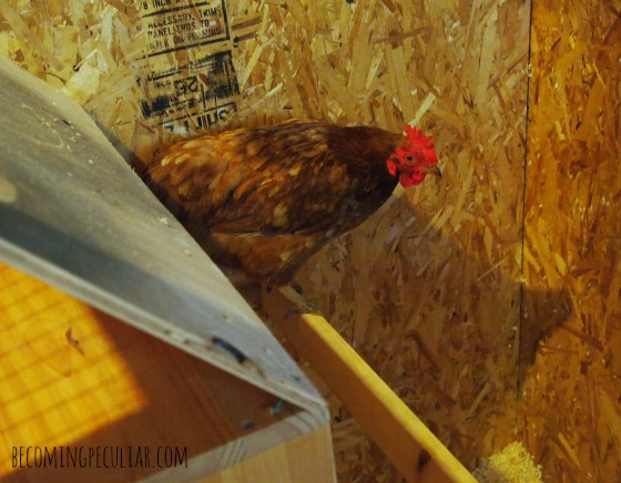 hen roosting by nesting boxes