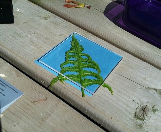 making sunprints: fern 1