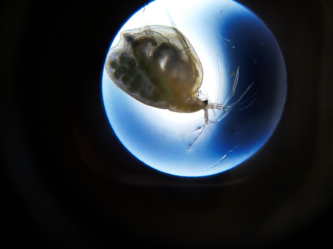 daphnia microsope