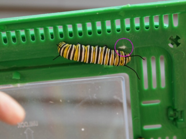 monarch caterpillar silk button