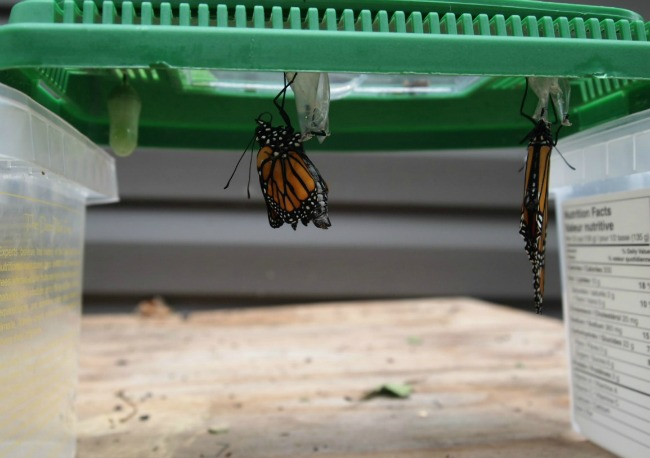 monarch butterfly eclosing